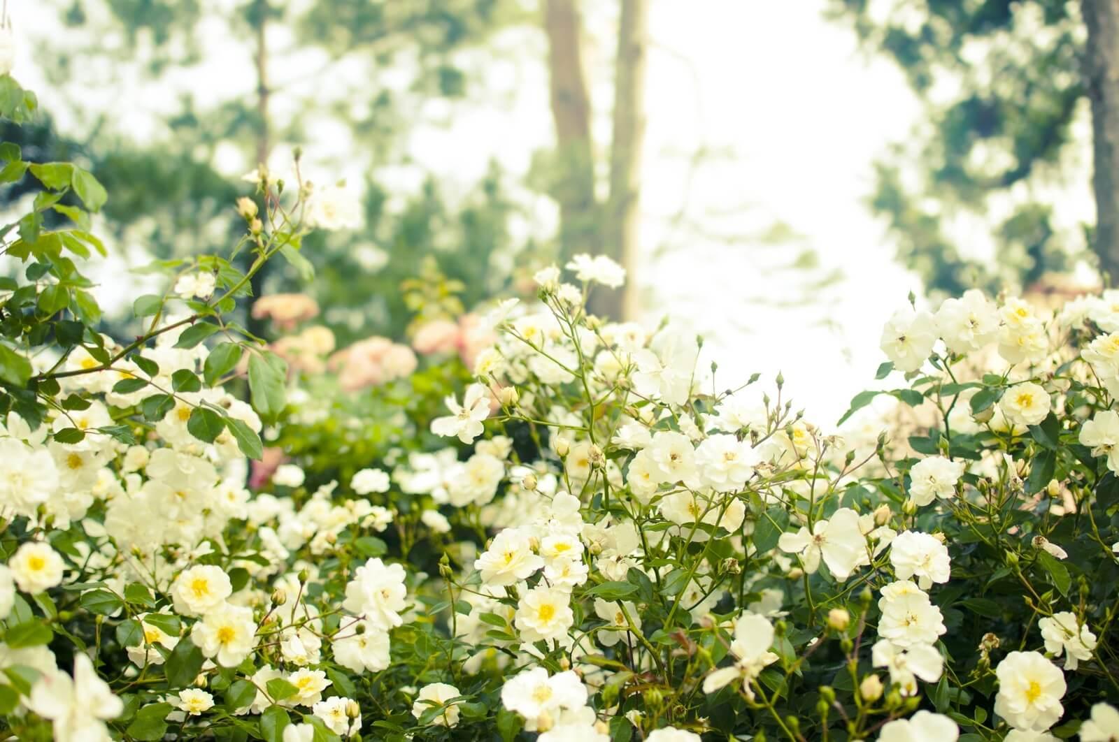 16白いバラ